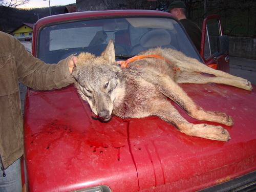 Pregedate slike iz članka: Lovci ulovili vuka!