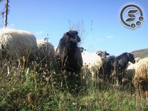 Pregedate slike iz članka: Fotografija dana - ovce